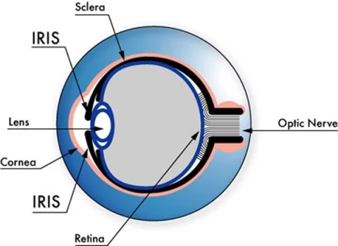 retina thesis Dynamic range of safe electrical stimulation of the retina chronic electrical stimulation of the retina in patients with neuro-degenerative diseases using implanted.